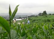 神奈川県秦野市菩提の高梨茶園。茶葉と製法にこだわっています。手もみ茶体験も実施中。